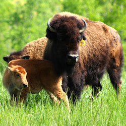 bisonmotherandbaby